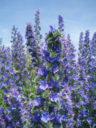 Viper's Bugloss : A Treasure Trove to Share