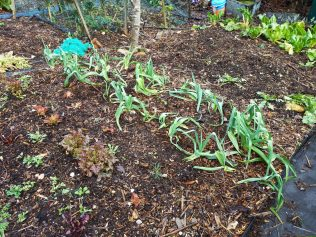Winter Leeks and Lettuce happily growing in wood chip!