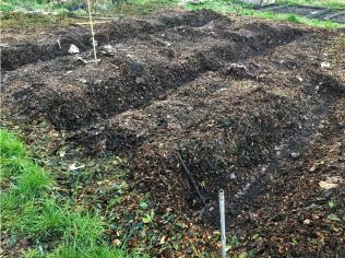 Nath and Ellies Garlic panted in trenches between the wood chip