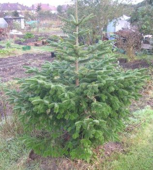 Let your Christmas tree grow as big as this on your plot and you could be in trouble!