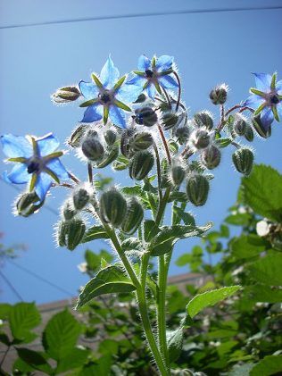 Borage | Photo credit - Jengod