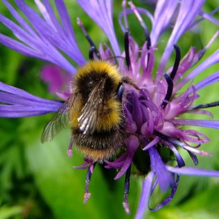 Save our Bumblebees