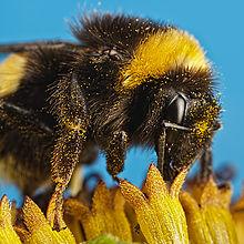 Pollinators and Allotments