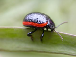 Scarce and Threatened Beetle