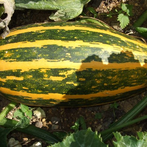Largest Courgette - Runner Up