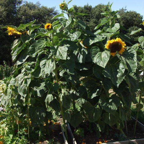 Children's Sunflower competition - Runner Up