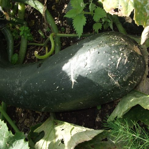 Largest Courgette - Winner