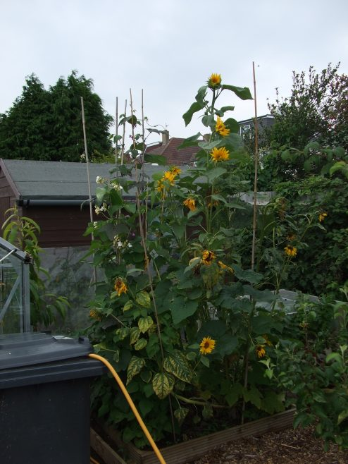 Tallest Sunflower competition - winner