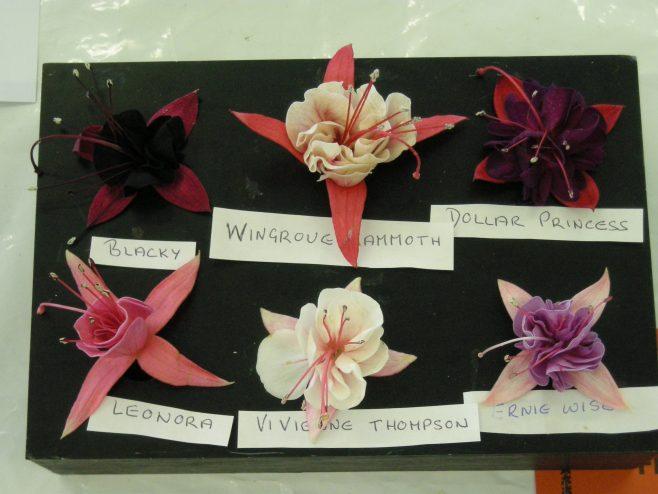 Marvellous Fuschia blooms | PHS member