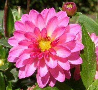Dahlia Dahlstar Sunset Pink | Ramin Nakisa