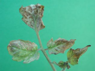 Frost damage on tomato plant