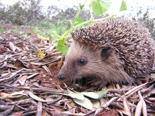 Hedgehogs eat slugs and snails