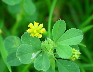 yellow trefoil