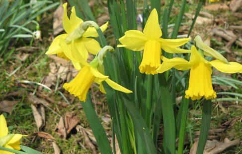 Planting Spring flowering bulbs