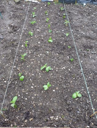 Broad beans mostly survive the freeze