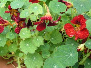 nasturtium and calendula