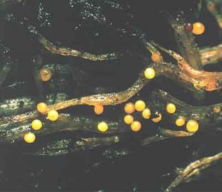 the potato cyst nematode under a microscope