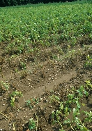 Damage in a row of potatoes