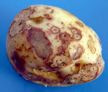 Potato cyst eelworm