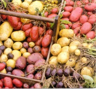 colourful potato varieties