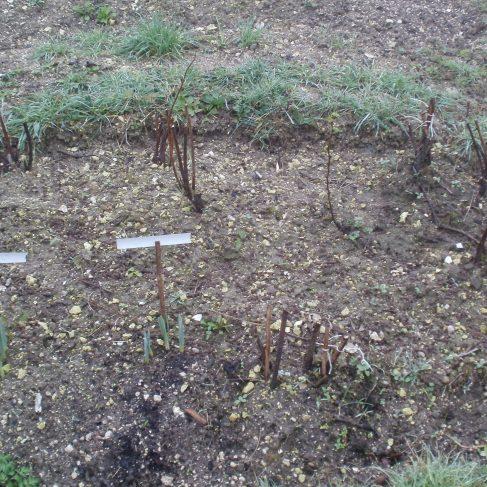 Raspberrie canes
