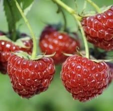 Planting fruit trees and bushes and other shrubs