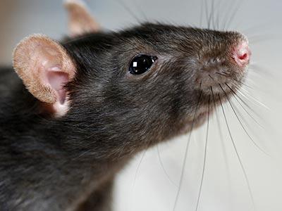 Rat or wasp problem?